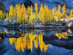 Golden trees reflection