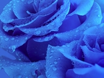Lovely Blue Roses