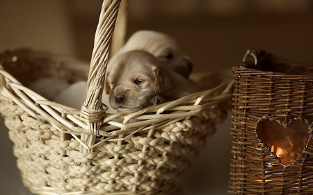 Sweet Puppies - pretty, sleep, beautiful, adorable, animal, sweet, dog face, photography, puppies, beauty, face, animals, dog, puppy, lovely, cute, basket, heart, dog eyes, eyes, dogs