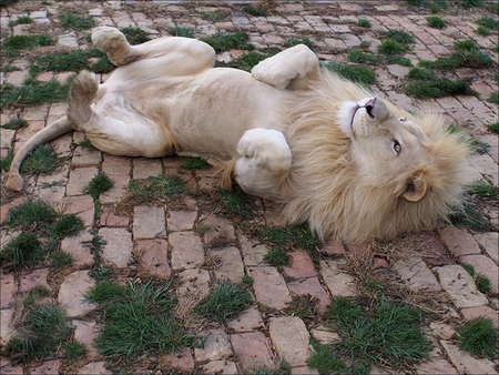 Lion having a roll. - play, king, beautiful, cat, lion