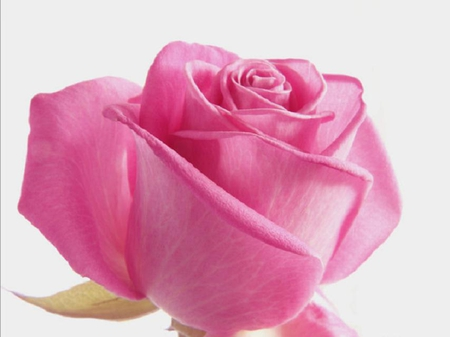 Lovely Pink Rose Flowers Nature Background Wallpapers On Desktop