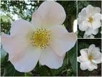White-rose-Collage.