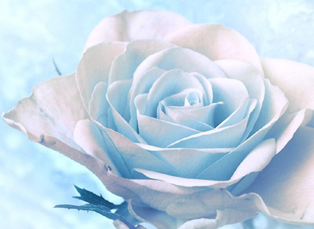 Beautiful white rose flowers nature background wallpapers on beautiful white rose mightylinksfo