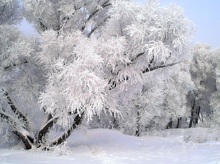 Dressed in winter white - forest, trees, branches, snow