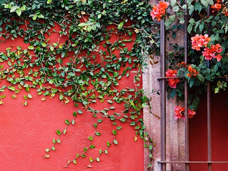 Vine. - vine, plant, flower, pole, wall