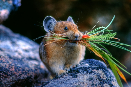 The Harvester - carrying, sweet, cute, mouse, hungry