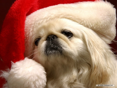DOG IN SANTA HAT - holiday, hat, santa, canine, dog