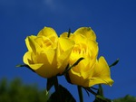 2 Yellow Roses with a Clear Blue Sky.