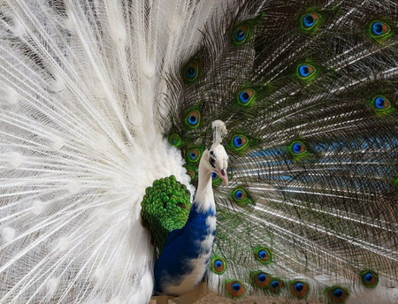 White Blue Peacock Birds Animals Background Wallpapers On