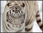 WHITE TIGER, WHITE TIGER