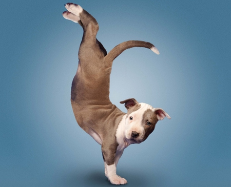 Comments On YOGA PITBULL PUPPY
