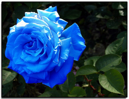Beautiful blue rose flowers nature background wallpapers on beautiful blue rose mightylinksfo