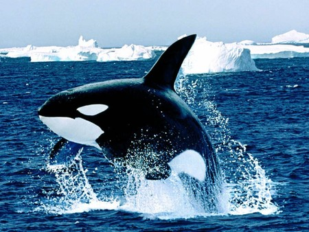 Emerging killer whale whales animals background wallpapers on emerging killer whale altavistaventures Images