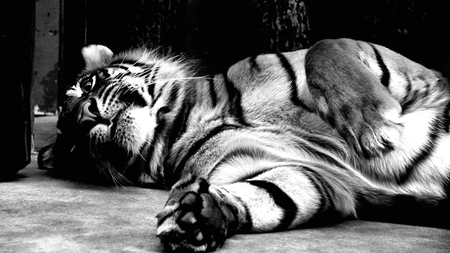 living the life - cunning, special, stripes, black and white, playful, beautiful, tiger, cat, sweet, predator, photography, big, jungle, beauty, photoshop