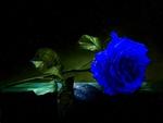 A BLUE ROSE