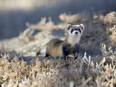 Black-Footed-Ferret - cool, ferret, picture, black-footed