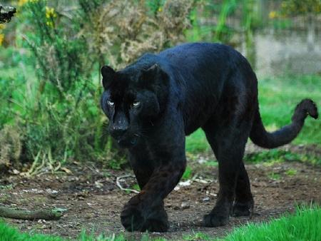 Black Panther Cats Animals Background Wallpapers On Desktop Nexus Image 895642