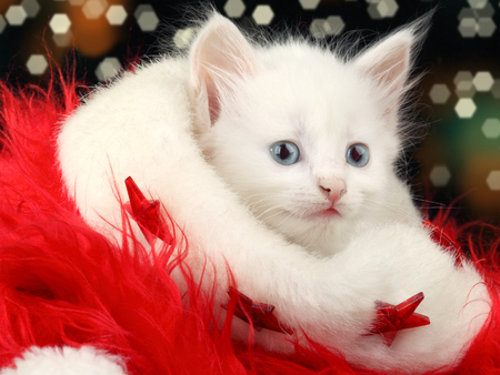 White Cat With Blue Eyes Wallpaper Cute Kit