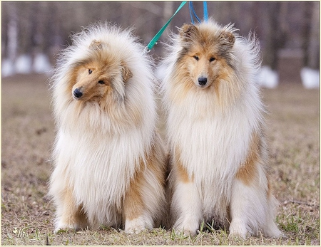 Double the trouble - furry, nose, brown, grass, park, cute, hair, leash, white, eyes, fur, animals, dogs, pair