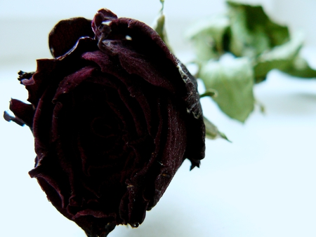 Rose (My photography) - photography, rose, roses, photo, flower