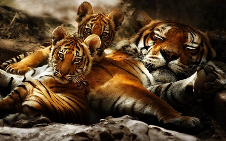POWERFUL FAMILY - resting, tigers, cubs, mom
