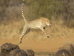 Cheetah Leap
