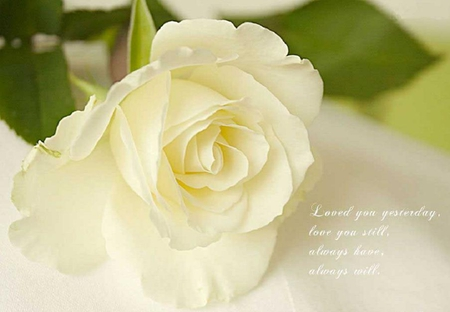 cool rose love quotes flowers nature background