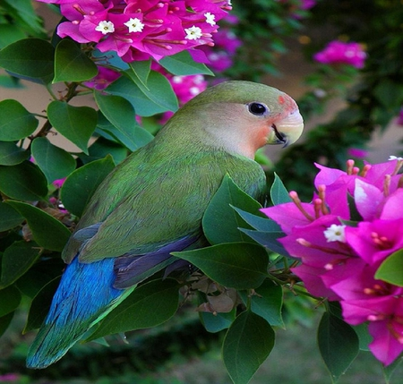 Parrot. - bird, bouganvillea, flower, parrot, colour, leaf