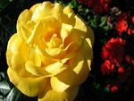 My friendship yellow rose.