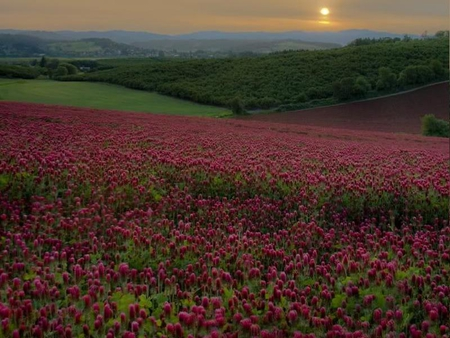 Red Clover Field - clover, red, field, sky