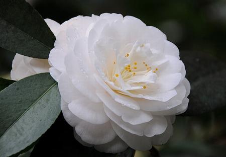 White camellia flowers nature background wallpapers on desktop white camellia beauty plant white flower mightylinksfo