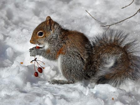 Winter squirrel squirrels animals background for Sfondi invernali per desktop gratis