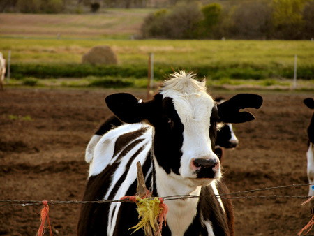 Dairy Calf Cows Animals Background Wallpapers On Desktop Nexus
