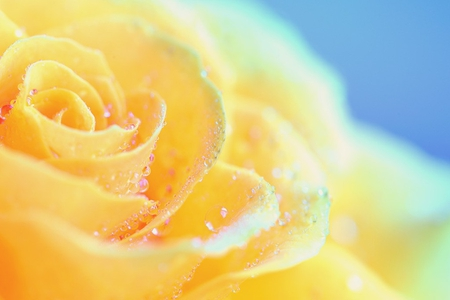 Beautiful Yellow Rose Flowers Nature Background Wallpapers On