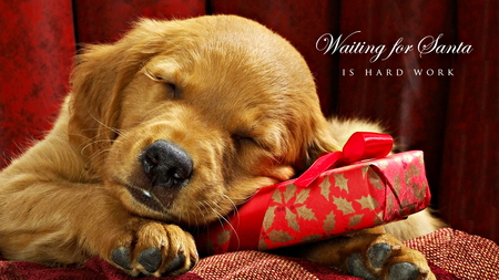 Waiting For Santa - christmas eve, pretty, adorable, magic, xmas, sweet, puppies, magic christmas, christmas dog, beauty, face, dog, present, lovely, holiday, christmas, gift, cute, paws, merry christmas, waiting, eyes, dogs, red, sleep, beautiful, dog face, photography, happy holidays, puppy, sleepy, animals, christmas gift, sleeping, dog eyes