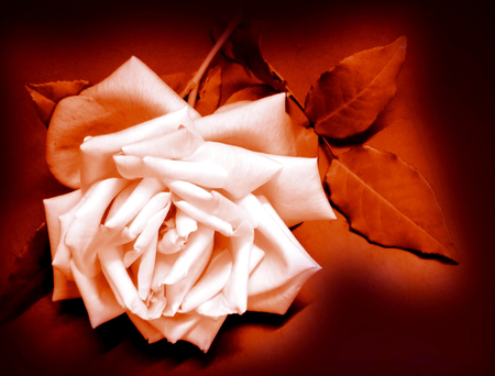 My Last Rose for My All True Friends