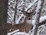 Whitetail In Iowa