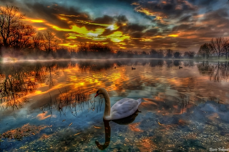 Colorful Dawn - colorful, glowing, fiery, golden, beautiful, sky, swans, swim, reflections, graceful