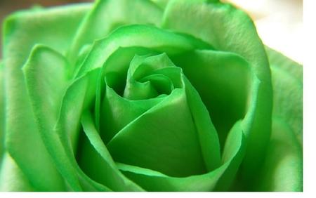 Green Rose Flowers Nature Background Wallpapers On Desktop Nexus