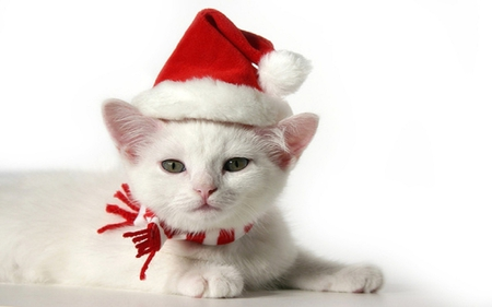 Christmas Kitten - christmas, kitty, white cat, adorable, cat, sweet, cute, santa, kitten, white kitten, white