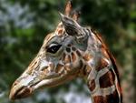 giraf portrait