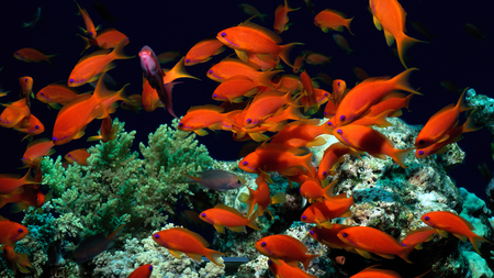 Tropical Fish - ocean, water, fish, nature, red, orange, animals, marine life, sea, aquarium, goldfish