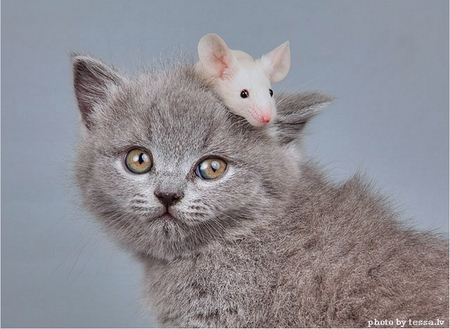 Cat and Mouse - head, fluffy, kitty, furrball, adorable, cat, sweet, cute, mouse, kitten, white