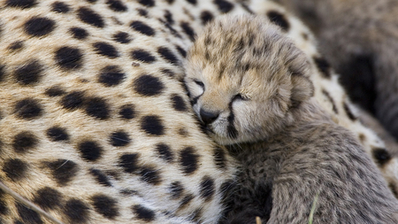 Cute Cheetah Cub - Cats & Animals Background Wallpapers on ... | 450 x 253 jpeg 158kB