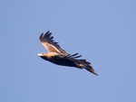 Wedge Tail Eagle in flight