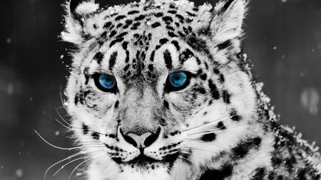 Snow Leopard - snow leopard, leopard, cats, blue eyes
