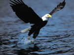 The Bald Eagle Fishing
