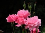 Barb's Roses