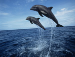 Black Sea Dolphins