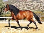 Pure Spanish Horse 1